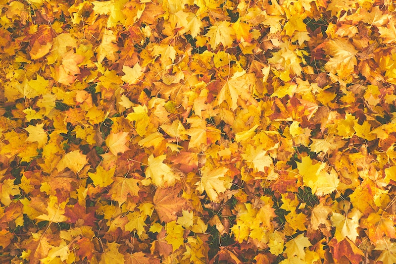 Large pile of fall leaves.